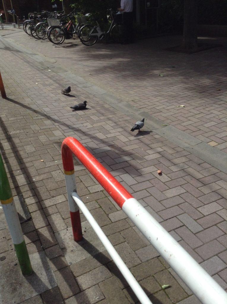 花園公園の鳩