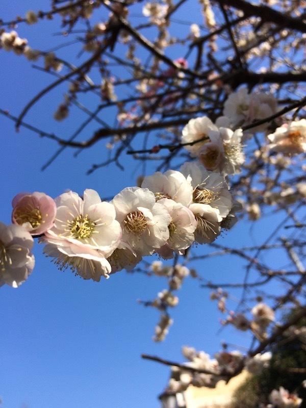 東京都杉並区の梅里公園の梅まつりはおすすめの梅見スポットである
