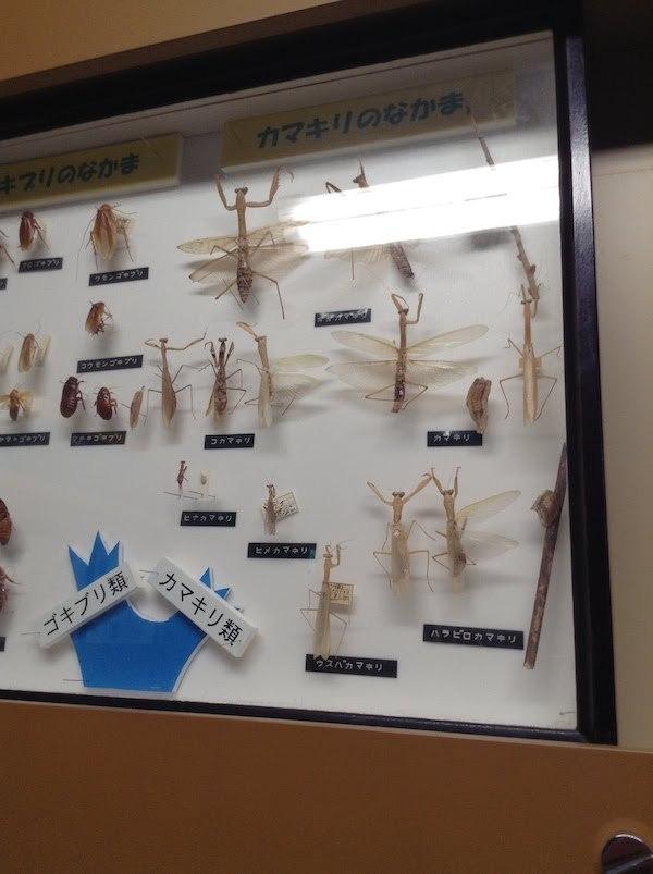 昆虫の標本が楽しい