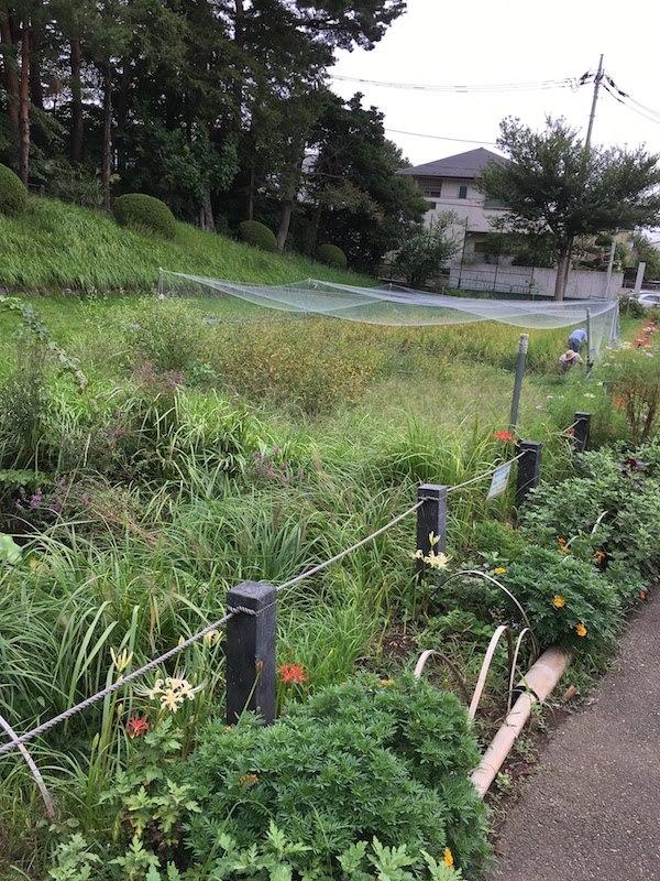 柏の宮公園(東京都杉並区浜田山)の水田(田んぼ)は虫捕りにおすすめ