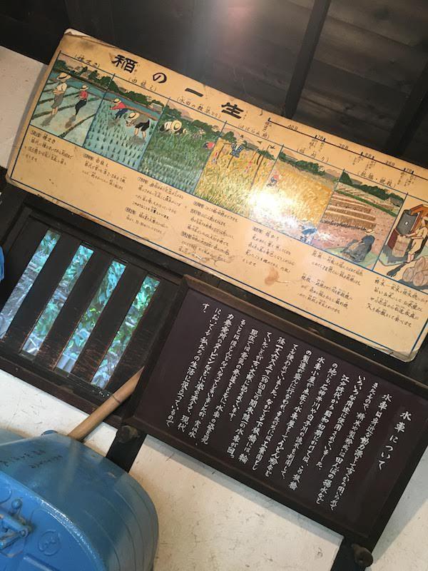 水車公園(東京都板橋区)の水田はバッタ・イナゴ等の虫捕りにおすすめ