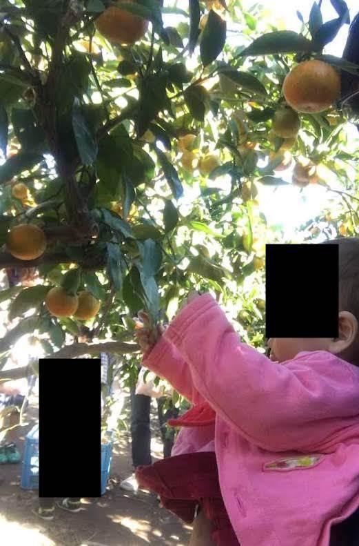 豊田みかん園(埼玉県三郷市)のみかん狩りは子連れ家族におすすめ