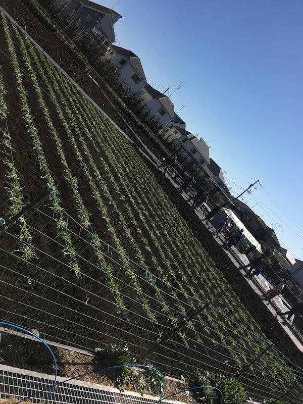 杉並区成田西ふれあい農業公園の麦踏み体験は子連れ家族におすすめだ