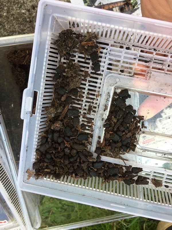11月、糞が増えてきたので新しい土に交換する。幼虫の数が減っている